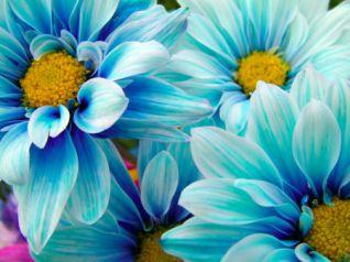 margherite blu