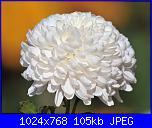 commemorazione dei defunti-sfondo-fotografie-1024-768-fiori-immagini-crisantemi-bella-fiori-immagini-ni345009-jpg