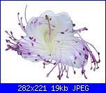 Richiesta schema da foto fiore cappero-fiore-cappero-jpg