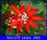 Passiflora che fiorisce-passiflora-racemosa-jpg