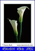 fiori-calla%25202-jpg