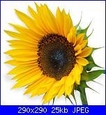 fiori-girasole-jpg