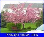 Schema alberi di ciliegio o sakura-5-font-b-seeds-b-font-japanese-flowering-cherry-tree-font-b-seeds-b-font-font-jpg
