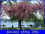Schema alberi di ciliegio o sakura-kirschbaum-der-aussenalster600-jpg