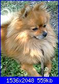 il mio  piccolo spitz-foto0090_001-jpg