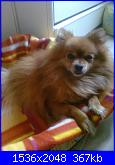 il mio  piccolo spitz-foto0031_001_001-jpg