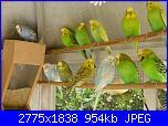 Pappagallini.ci sono amiche appassionate a questi uccellini?-fotos-157-jpg