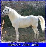 Fotografie del mio ex cavallo di pura razza spagnola-cavallo-copia-jpg