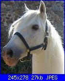 Fotografie del mio ex cavallo di pura razza spagnola-cavallo2-copia-jpg