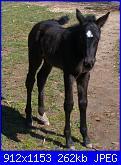 Fotografie del mio ex cavallo di pura razza spagnola-184-jpg
