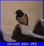 Nuovi inquilini: le rondinelle-img_4943-jpg