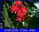 Piante grasse e dintorni-chamaecereus-silvestrii-18-5-05-jpg