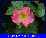 Rosa canina o selvatica-rosa_canina-1-jpg