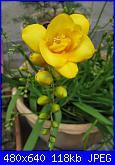 i miei tulipani-img_2063-jpg