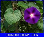 Regalo semi di -ipomoea blu'--ipomoea-purpurea-jpg