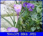 I fiori di Dana2011-crocus-violetti-dana2011-jpg