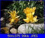 I fiori di Dana2011-fiori-dana2011-crocus-gialli-jpg