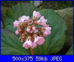 I fiori di Dana2011-bergenia-dana2011-jpg
