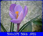 I fiori di Dana2011-crocus-violetto-dana2011-jpg
