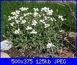 I fiori di Dana2011-aubretia-bianca-dana-2011-jpg