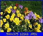 I fiori di Dana2011-viola-cornuta-colori-misti-dana2011-jpg