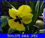 I fiori di Dana2011-viola-pensiero-dana2011-jpg