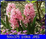 I fiori di Dana2011-giacinti-pink-dana2011-jpg