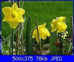 I fiori di Dana2011-narcisi-gialli-dana2011-jpg
