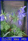 le mie aquilegie-aquilegia-blu-jpg
