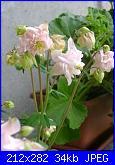 le mie aquilegie-aquilegia-rosa-jpg