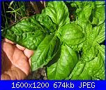 Basilico gigante-img_0568-jpg