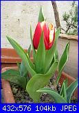 i miei tulipani-img_2212-jpg