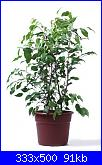 Aiuto....le mie piante si stanno SUICIDANDO!!-ficus-benj-jpg