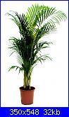 Aiuto....le mie piante si stanno SUICIDANDO!!-areca-jpg