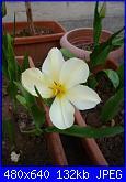i miei tulipani-p1010558-jpg