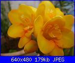 i miei tulipani-p1010566-jpg