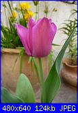 i miei tulipani-p1010592-jpg