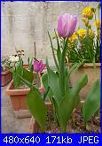 i miei tulipani-p1010601-jpg