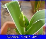 i miei tulipani-p1010606-jpg