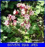 Regalo semi piante da fiore per i vostri giardini!!!-aquilegia-1-jpg
