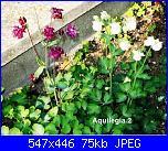 Regalo semi piante da fiore per i vostri giardini!!!-aquilegia-2-jpg