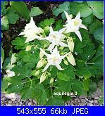 Regalo semi piante da fiore per i vostri giardini!!!-aquilegia-3-jpg