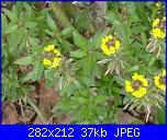members/casamiacasamia/albums/il-mio-giardino/168443-cheiranthus.JPG