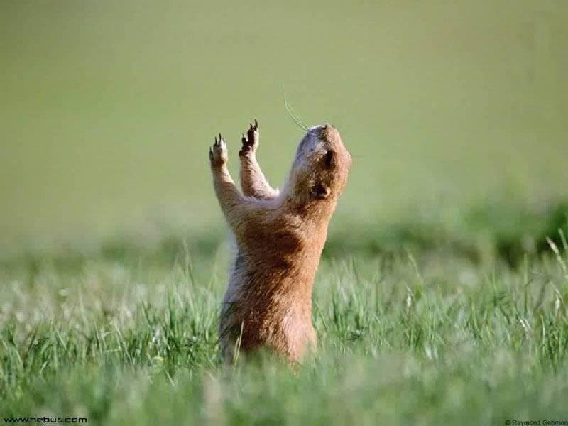 Risultati immagini per marmotte