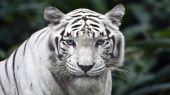 Tigri - tigre bianca